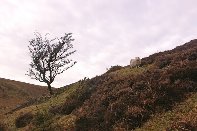 Bare tree and woolly sheep