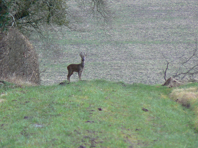 Deer on a bridleway, north-east of Yatesbury