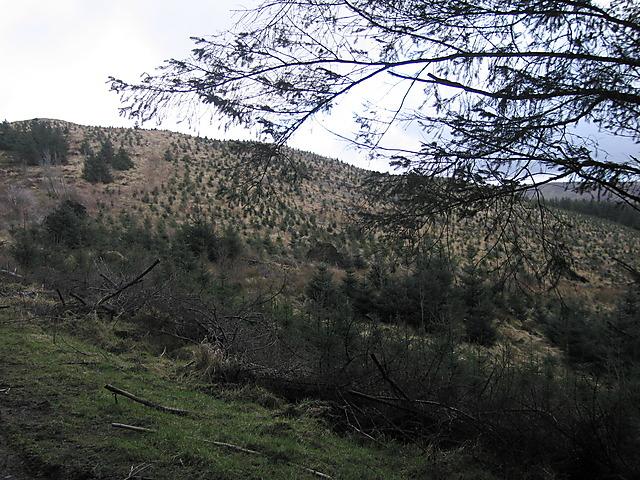 Replanted forest on Mynydd Bychan