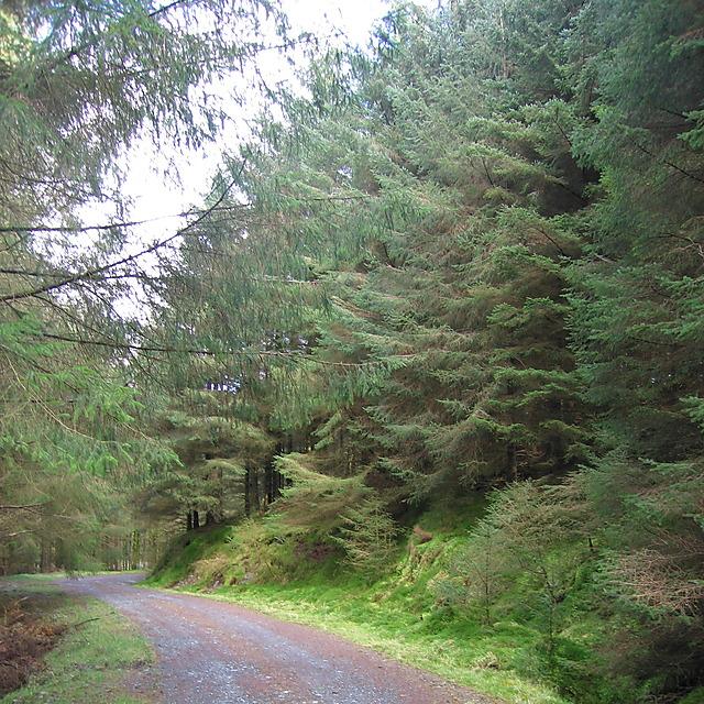 Maturing forest in Mynydd Bychan forestry
