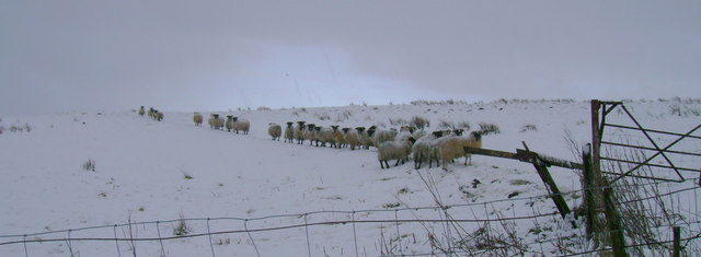 Sheep in wintry conditions