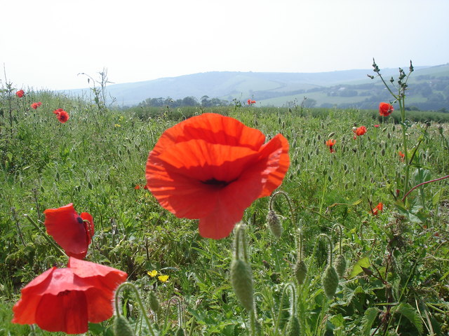Common Poppies - Papaver rhoeas