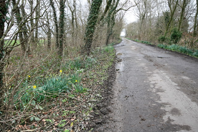 Snowdrops and Early Daffodils in Longwood Lane