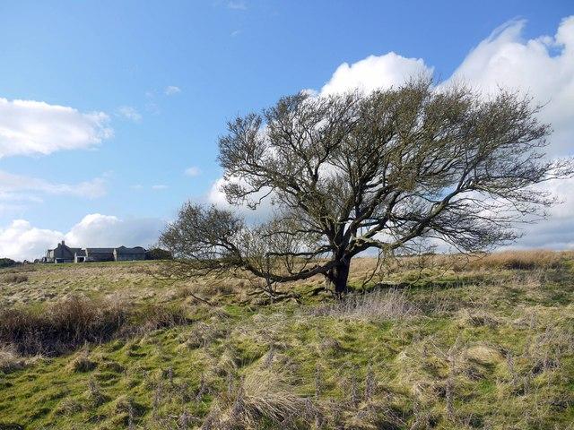 Tree east of Sandyway Heads, Ingoe