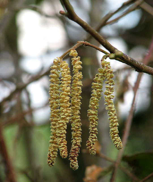 The catkins are out - detail