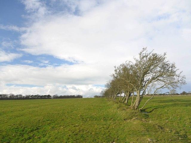 Old boundary hedge east of Birneys Plantation