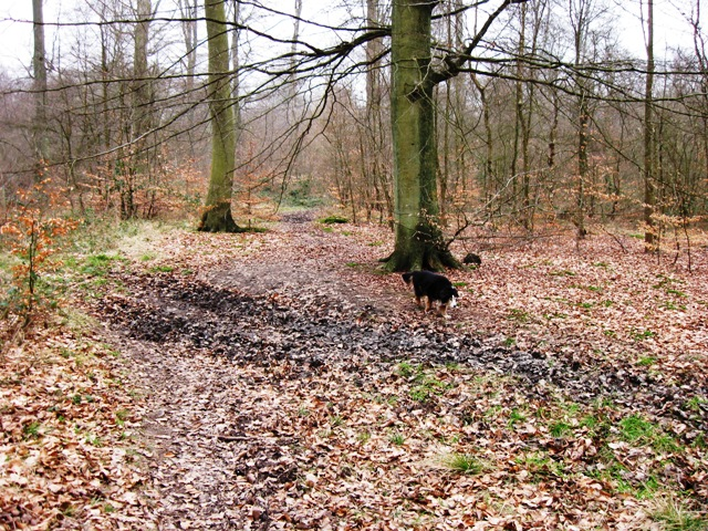 Old Cart Track through High Scrubs Wood