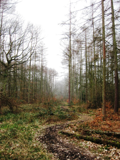 The Entrance to the Larch Plantation