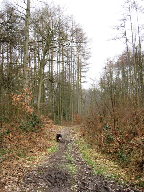 The Footpath through the Larch Plantation