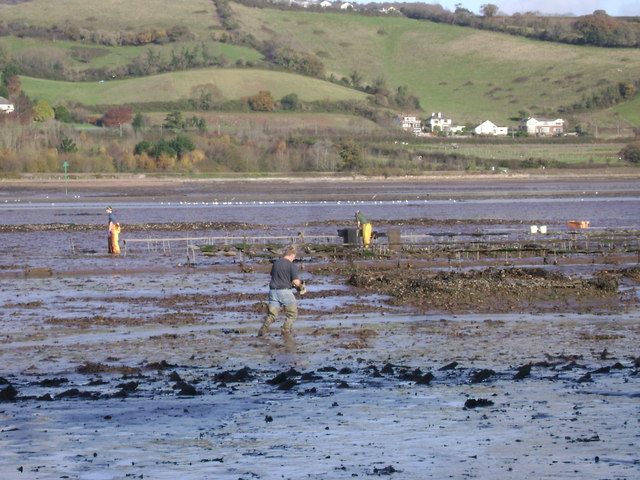 Harvesting oysters, Teign estuary