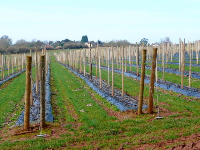 New raspberry plantation 2