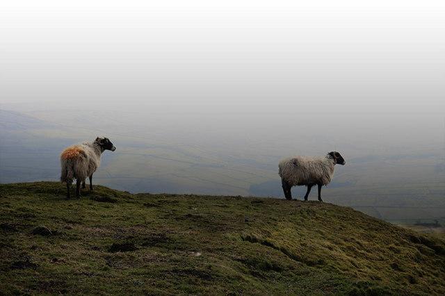 Sheep at Crooks Altar
