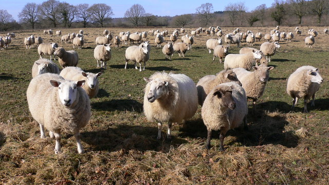 Large field with many sheep at Wardley Marsh