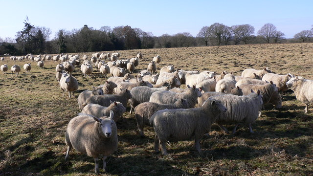 A following of sheep