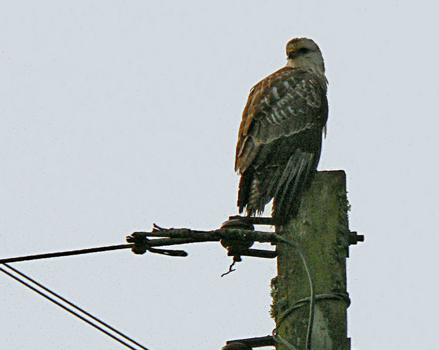 Buzzard keeping watch, Kernock near Pillaton.