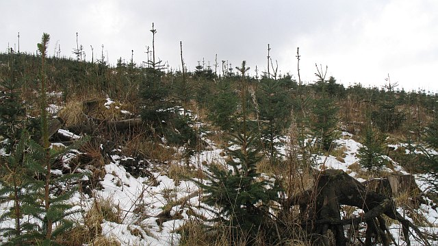 Replanted forest, Gartcarron Hill