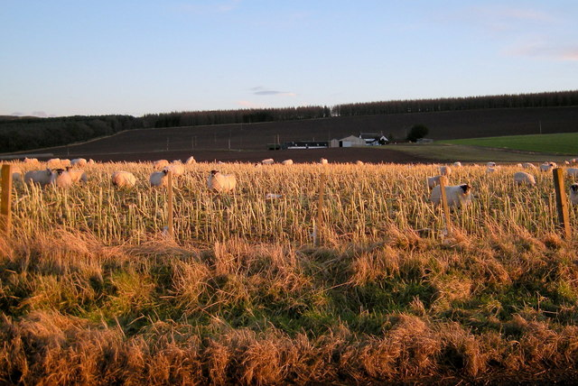 Sheep feeding on Kale near Murleywell, Glamis