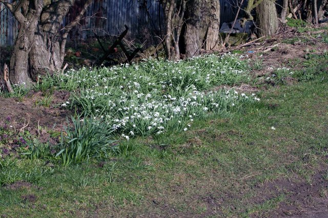 Snowdrops by Bridge farm