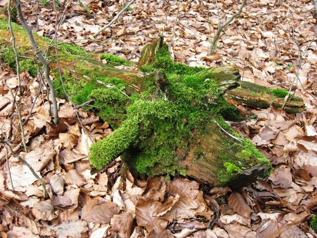 Green Dragon?  No just a moss-covered fallen branch