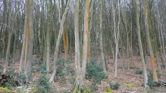 Orange trees on Dunner Hill