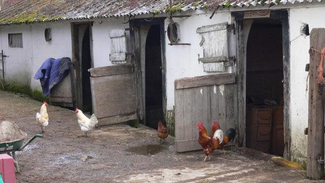 Hens and cockerels at Lyford Farm