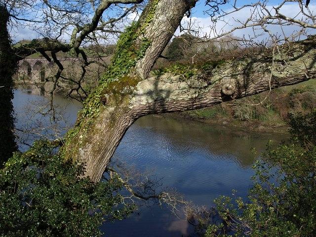 Oak, Marsh Combe