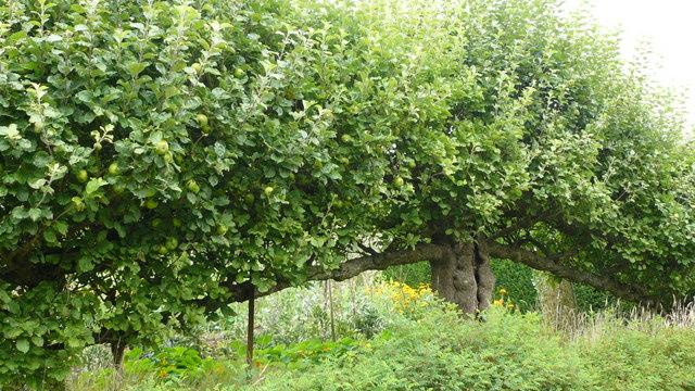 Apple Tree in Standen House Garden
