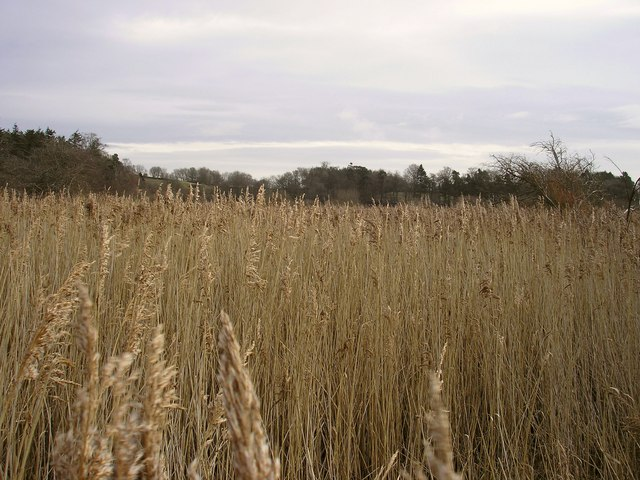 Whitmuirhall Loch reed beds