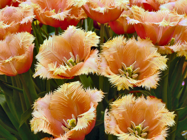 Frilly tulips at the Malvern Spring Show.