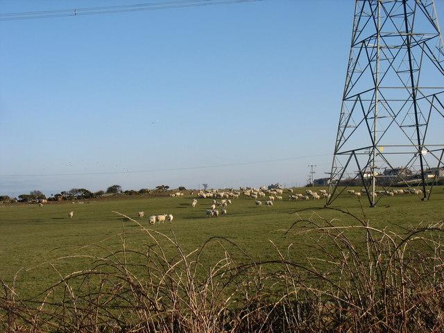 Sheep gathering near Wylfa