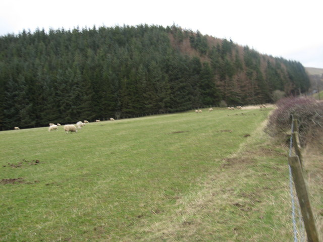 Sheep grazing at a strip of woodland near Singlie