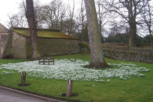 Snowdrops at The Yews, Long Lane, Worrall