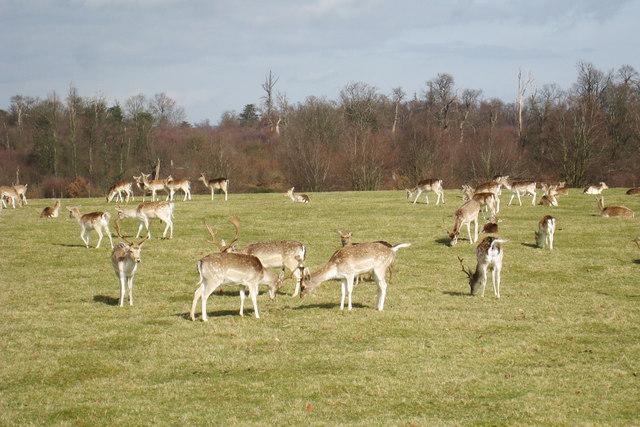 Rutting Deer at Knole Park