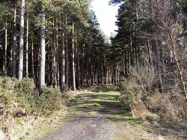 Scots pines in Sandyford Plantation