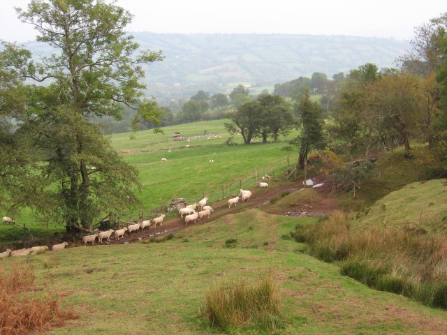 Sheep near Longtown