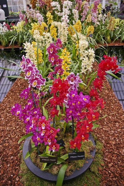 Odontioda - Kew Gardens, Surrey