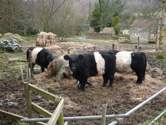 Belted Galloway cattle near Gillamoor