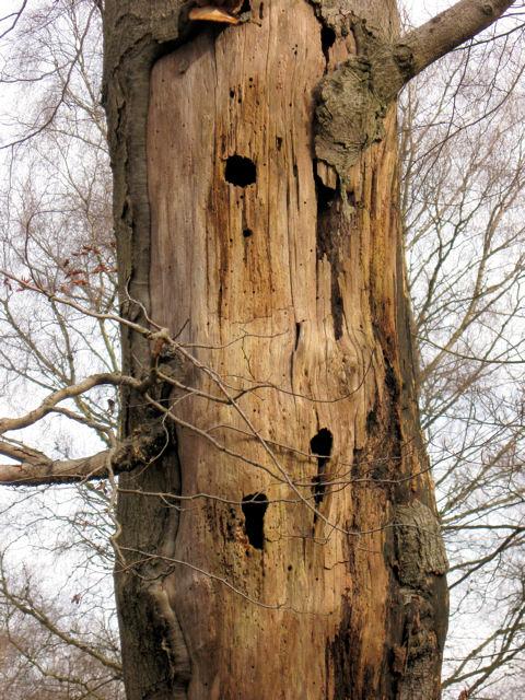 Woodpecker holes in an old tree