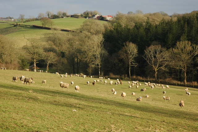 Sheep in the Dalch Valley