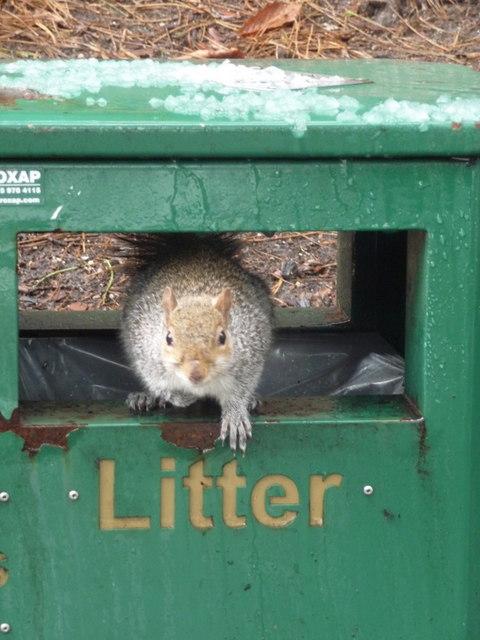 Bournemouth: scavenging squirrel