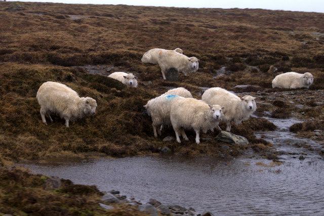 Sheltering Shetland sheep, near Uyeasound