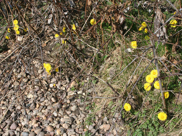 Coltsfoot (Tussilago farfara) by the Nottingham Canal