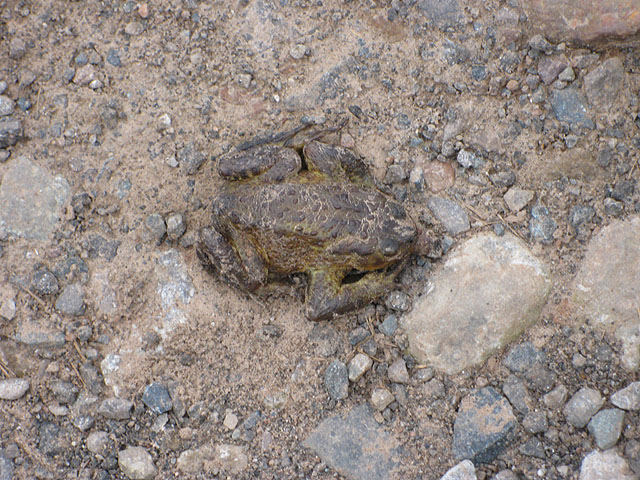 Well camouflaged toad