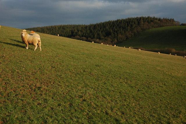 Sheep at Hill Barton