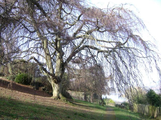 Homeyards Botanic Garden, Weeping Beech