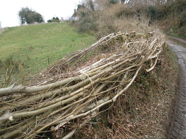 Newly laid hedge, near Peck Farm