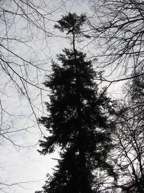 Tall tree, Kingston Lacy