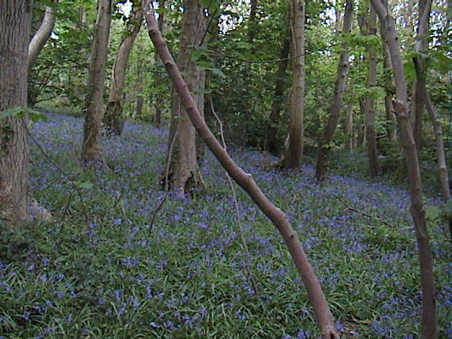 Bluebells in Penglais woods