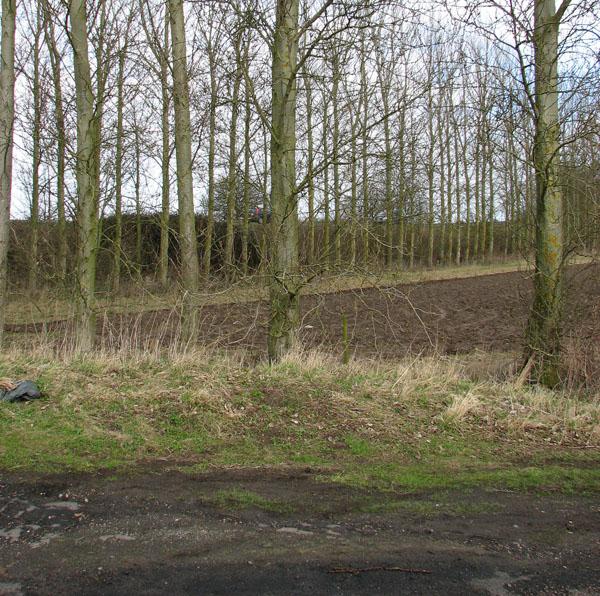 Poplars surrounding a field