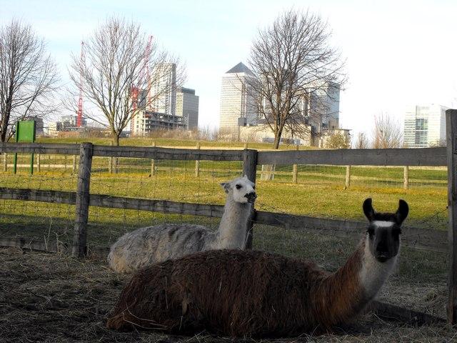 Island Llamas